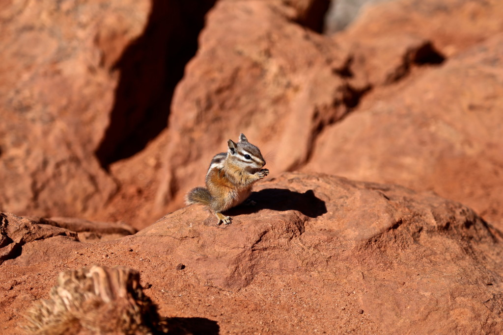 zion-national-park-utah-chipmunk