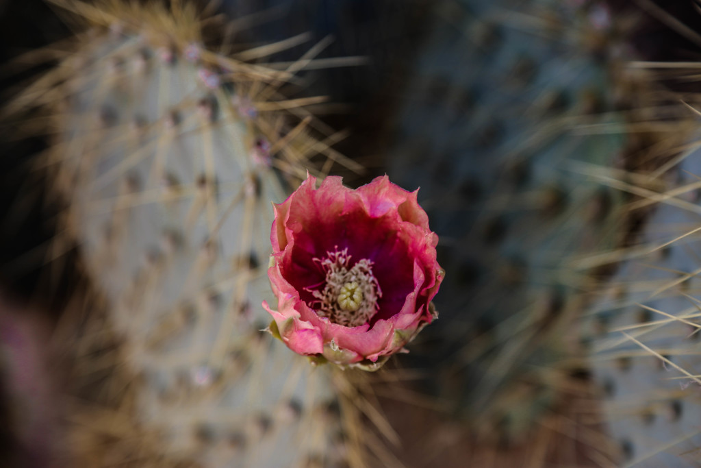 joshua-tree-national-parc-cactus-flower