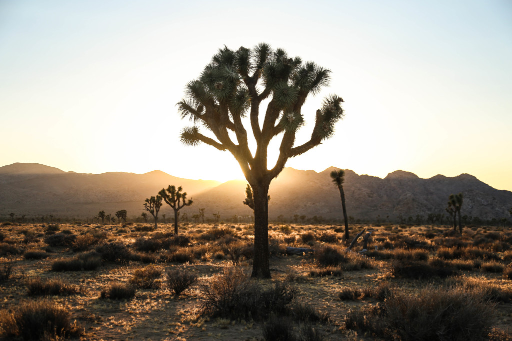 joshua-tree-national-parc
