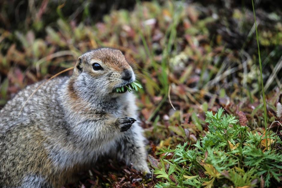 alaska-usa-denali-national-park-marmotte