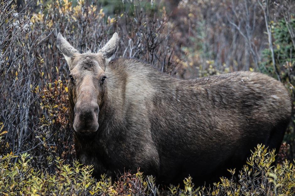 alaska-usa-denali-national-park-moose-wildlife