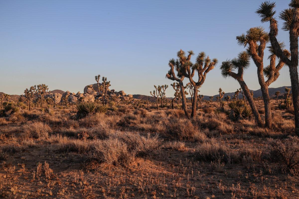 joshua-tree-californie-road-trip-voyage-etats-unis-usa-ouest-americain