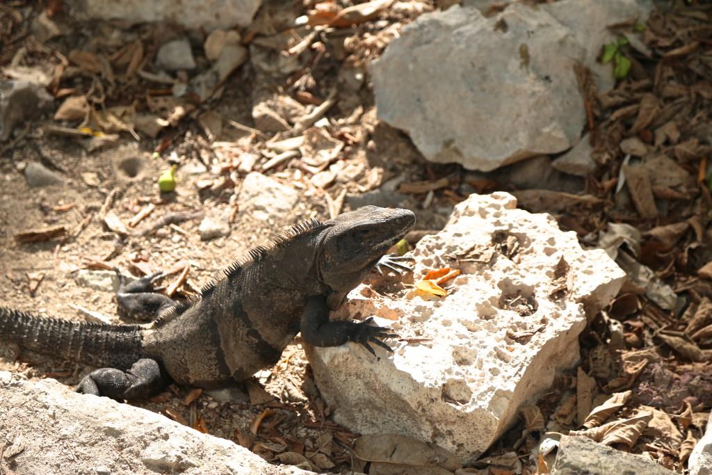 Iguane-Tulum