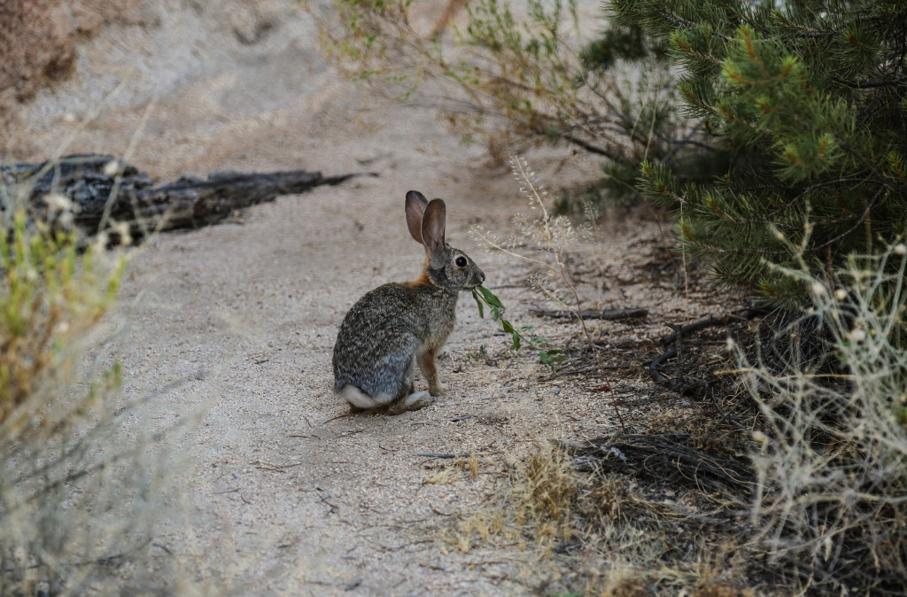 joshua-tree-national-park-wildlife